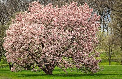 Photograph - Magnolias In Abundance by Joni Eskridge