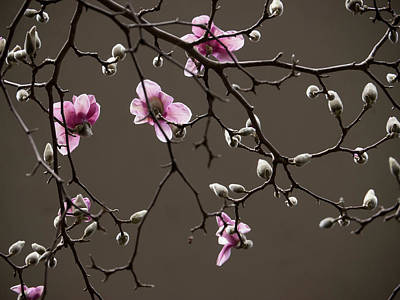 Photograph - Magnolias In Bloom by Rob Amend