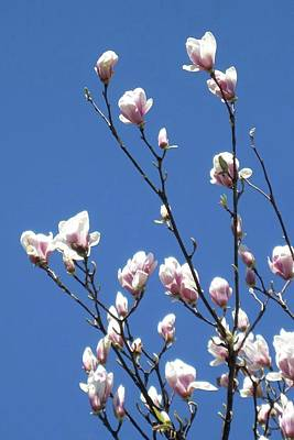 Photograph - Magnolias In May by Patricia E Sundik