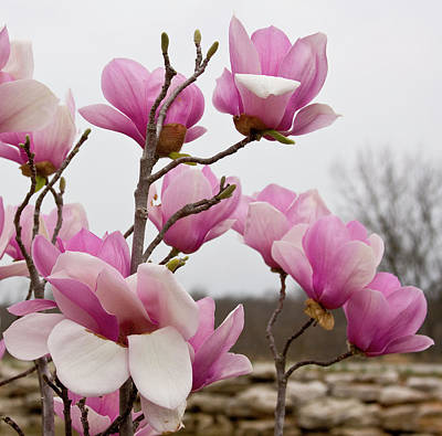 Photograph - Magnolias In Pink by Gwen Vann-Horn