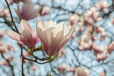 Photograph - Magnolias by Valerie Rosen