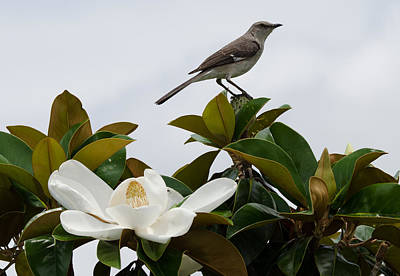 Photograph - Magolia Bloom With Mocking Bird by Julie Cameron