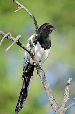 Photograph - Magpie by Crystal Wightman
