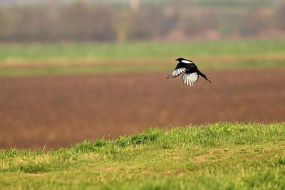 Photograph - Magpie by David Bradley