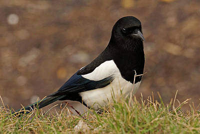 Photograph - Magpie by Inge Riis McDonald