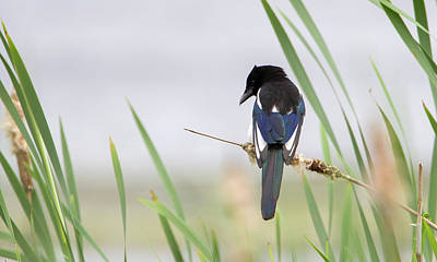 Photograph - Magpie by Peter Walkden