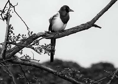 Magpies Photograph - Magpie  by Philip Openshaw
