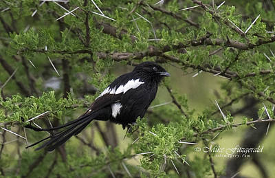 Photograph - Magpie Shrike by Mike Fitzgerald