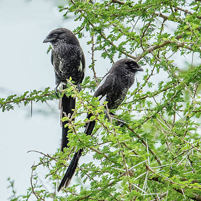 Thorn Tail Photograph - Magpie Shrikes On Acacia by Morris Finkelstein