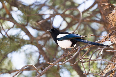 Steven Krull Royalty-Free and Rights-Managed Images - Magpie by Steven Krull