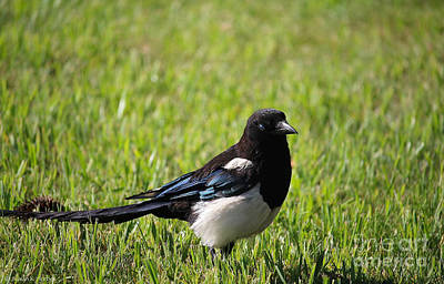Photograph - Magpie by Susan Herber