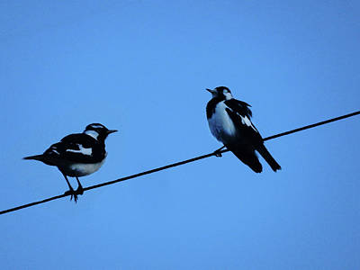 Photograph - Magpies On The Wire by Mark Blauhoefer