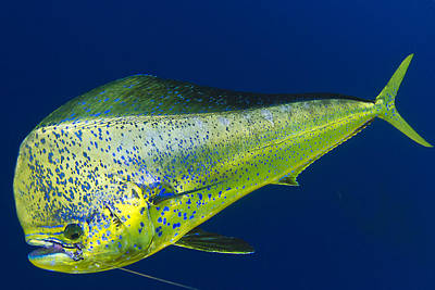 Photograph - Spotted Mahi by Adrian E Gray