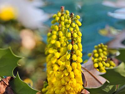 Photograph - Mahonia Flowers by Katherine White