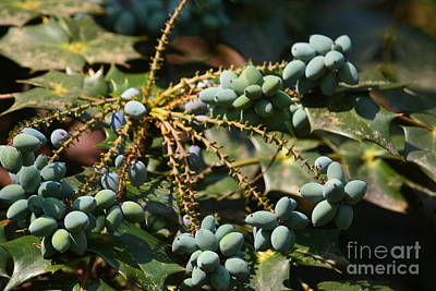 Photograph - Mahonia Japonica Fruit by Maria Urso