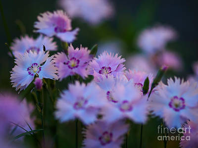 Photograph - Maiden Pink On My Mind by Ismo Raisanen