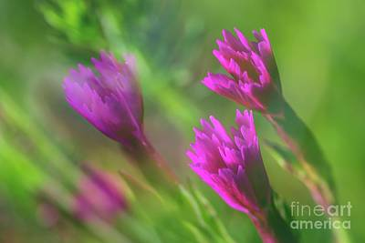 Abstract Flowers Royalty-Free and Rights-Managed Images - Maiden pink by Veikko Suikkanen