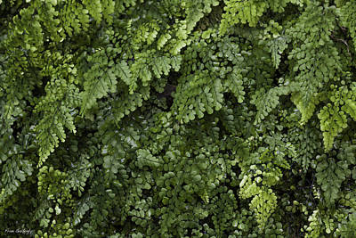 Photograph - Maidenhair Fern by Fran Gallogly
