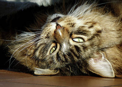 Photograph - Main Coon, Crazy. by Roger Bester