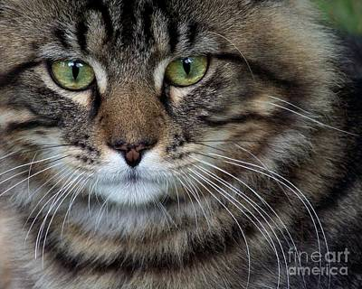 Photograph - Maine Coon Cat Portrait by Jai Johnson