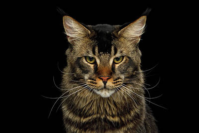 Photograph - Maine Coon Cat by Sergey Taran