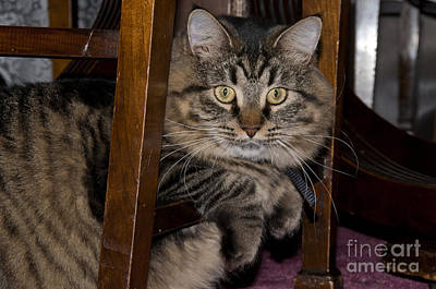 Longhair Cats Photograph - Maine Coon Cat by William H. Mullins