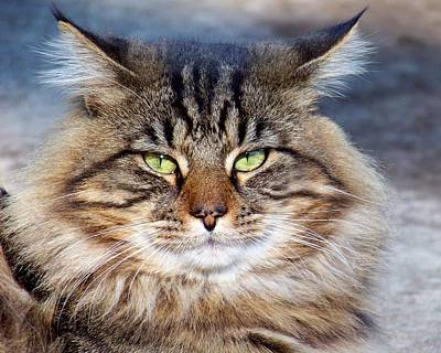 Photograph - Maine Coon I by Jai Johnson