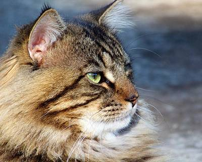 Photograph - Maine Coon II by Jai Johnson
