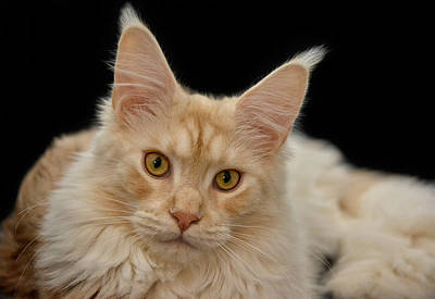 Portraits Royalty-Free and Rights-Managed Images - Maine Coon by Joachim G Pinkawa