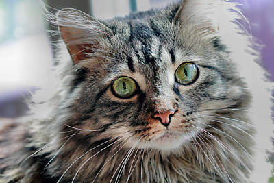 Photograph - Maine Coon Portrait by Angela Murdock
