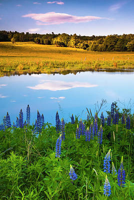 Photograph - Maine Field Of Lupines by Ranjay Mitra