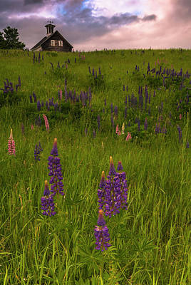 Maine Lupines And Home After Rain And Storm Art Print