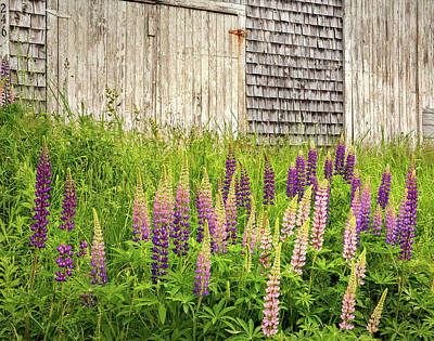 Photograph - Maine Lupines And Weathered Cedar Shakes by John Vose