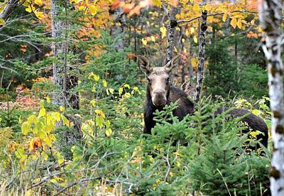 Photograph - Maine Moose by Jewels Blake Hamrick
