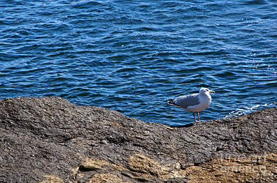 Photograph - Maine Seagull by Glenn Gordon