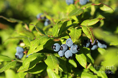 Maine Nature Photograph - Maine Wild Blueberries by Alana Ranney