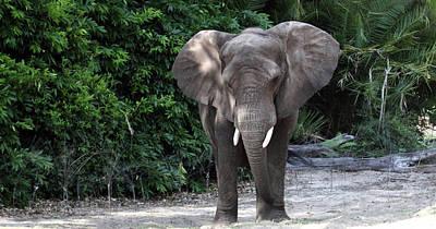 Majestic African Elephant Art Print
