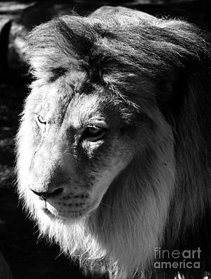 Photograph - Majestic African Lion Head Eyes Face And Mane Black And White by Shawn O'Brien