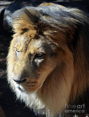 Photograph - Majestic African Lion Head Eyes Face And Mane by Shawn O'Brien