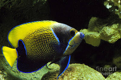 Angle Fishes Photograph - Majestic Angelfish Pomacanthus Navarchus by Gerard Lacz