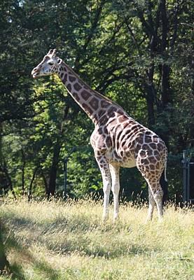 Photograph - Majestic Baby Giraffe by John Telfer