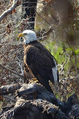 Photograph - Majestic Bald Eagle by Carla Parris