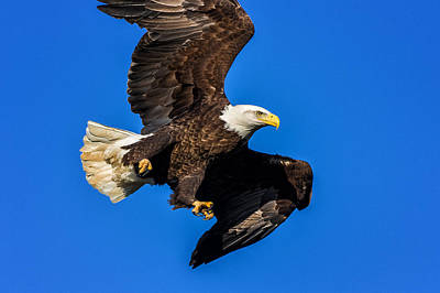 Photograph - Majestic Bald Eagle In Flight by Lori Coleman