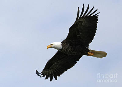 Photograph - Majestic Bald Eagle by Sue Harper