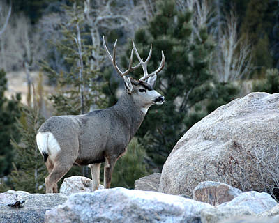 Photograph - Majestic Buck by Tranquil Light  Photography