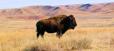 Majestic Buffalo In Kansas Art Print by Cheryl Poland