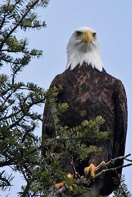 Photograph - Majestic Eagle by Chris LeBoutillier