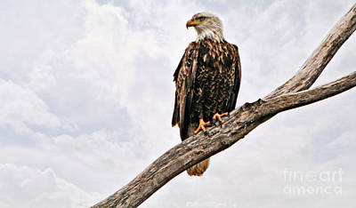 Photograph - Majestic Eagle by Elizabeth Winter