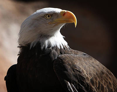Photograph - Majestic Eagle by Marie Leslie