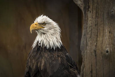 Robin Williams Photograph - Majestic Eagle by Robin Williams